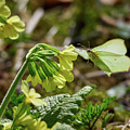 Brimstone On Cowslip Primrose by Jouko Lehto