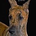 Brindle Great Dane by Larry Linton