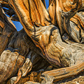 Bristle Cone Pine Tree White Mtns Ca Color Img 6799 by Greg Kluempers