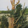 Bristle Wood Pine by Dale Yarmuth