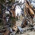 Bristlecone Forest, Ca November 2105 by Timothy Giller