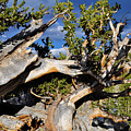 Bristlecone Great Basin Landscape by Kyle Hanson