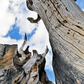 Bristlecone Great Basin Portrait by Kyle Hanson