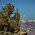 Bristlecone Pine  by Albert Seger