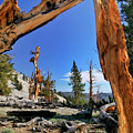 Bristlecone Pine Forest by Albert Seger