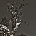 Bristlecone Pine In Black And White by David Kehrli