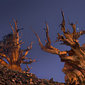 Bristlecone Pines At Sunset With A Rising Moon by Dave Welling