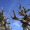 Bristlecone Trees by Matt Skinner
