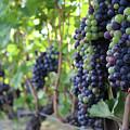 British Columbia Vines by Wilko Van de Kamp