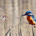 British Kingfisher by Paul Cummings
