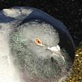 British Pigeon by Margaret Brooks