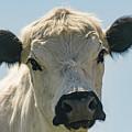 British White Cow by Warren Bourne