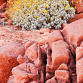 Brittlebush Bloom by James Marvin Phelps