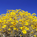 Brittlebush by Greg Vaughn - Printscapes