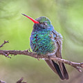 Broad-billed Hummingbird 3652 by Tam Ryan