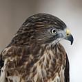 Broad-winged Hawk by Emma England