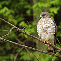 Broad Winged Hawk On The Lookout by Andy Favors