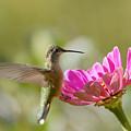 Broadbilled Hummingbird by Dennis Hammer