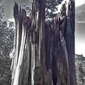 Broken Tree by Douglas Craig