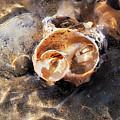 Broken Whelk Shell by Susie Peek
