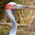 Brolga Profile by Mike  Dawson