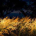 Brome Grass In A Field Near Princeton by Joel Sartore