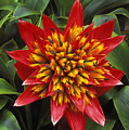 Bromeliad Blooming by Peter French - Printscapes
