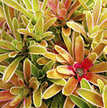 Bromeliad Brightness by Ron Dahlquist - Printscapes