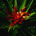 Bromeliad by John Ater