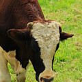 Brown And White Bull On A Farm by Robert Hamm