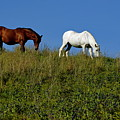 Brown And White Horse Grazing Together In A Grassy Field by Sami Sarkis