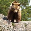Brown Bear 3  by Jouko Lehto