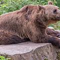 Brown Bear by Antony McAulay