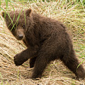 Brown Bear Cub Turns To Look Back by Ndp