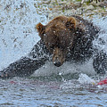 Brown Bear Diving In Water Trying To Catch Salmon by Dan Friend