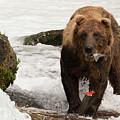 Brown Bear Eating Salmon Tail Beside Rocks by Ndp