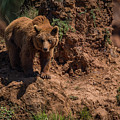 Brown Bear Watches From Steep Rocky Outcrop by Ndp