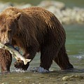 Brown Bear With Salmon by Brian Magnier