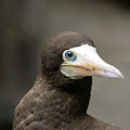 Brown Booby by William Tasker