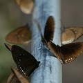 Brown Butterflies by Jessica Rose