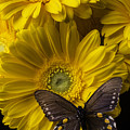Brown Butterfly On Yellow Daisies  by Garry Gay