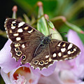 Brown Butterfly by Pierre Leclerc Photography