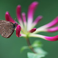 Brown Butterfly Resting On The Pink Plant by Jaroslaw Blaminsky