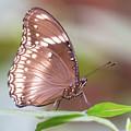 Brown Butterfly by Steven Jones