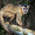 Brown Capuchin Monkey Cebus Apella by Panoramic Images