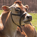 Brown Cow Chewing by Diane Schuler