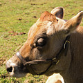 Brown Cow by Diane Schuler