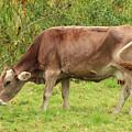 Brown Cow Grazing by Robert Hamm