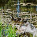 Brown Ducks On Log by Javier Flores