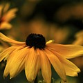 Brown Eyed Susan by Dot Lestar